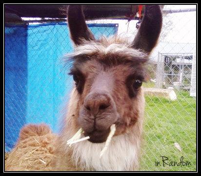 jumping llama