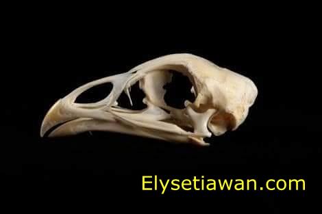 anatomi tengkorak ayam