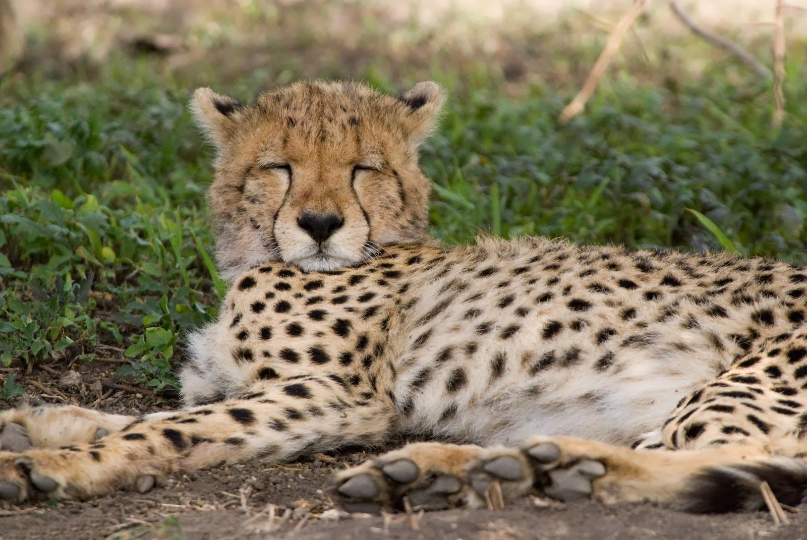 Cheetah tidur