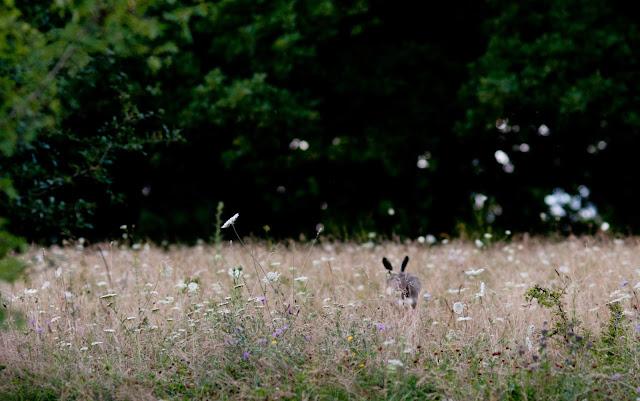 Hare in Daisoara, Transylvania, Romania