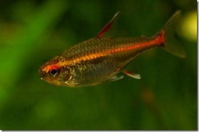 Cá Neon Cam: một loại cá neon đẹp cho hồ thủy sinh
