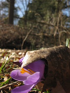 crocus coming through