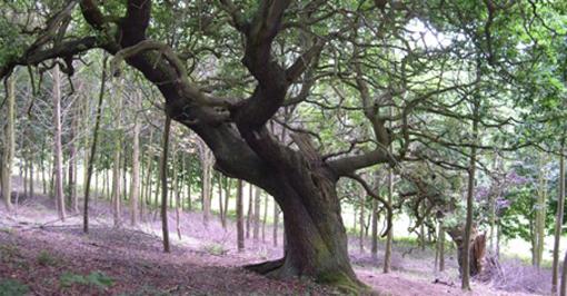 Oak: King of the Woods