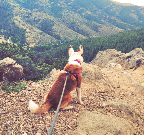 jack russell terrier looking over a mountain