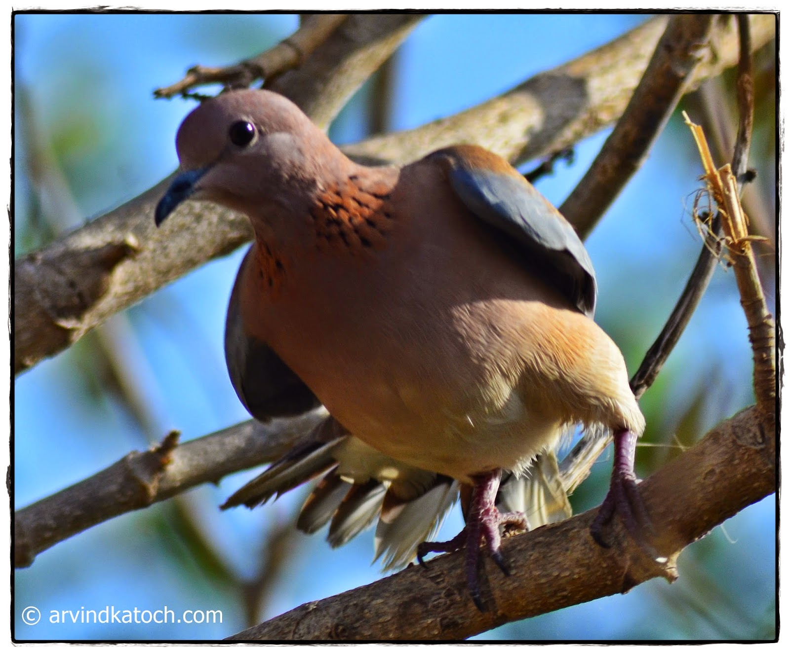 Laughing Dove, Front,