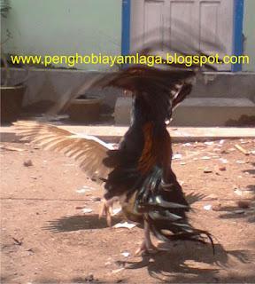 <img scr='nama_file_gambar.jpg'  alt='manfaat penjemuran ayam bangkok' />