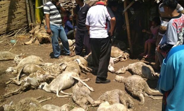 32 Kambing Mati Misterius Di Probolinggo, Pelakunya Anjing Jadi-jadian ?