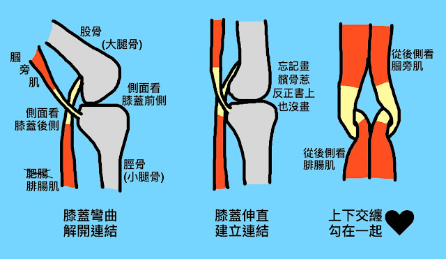 好痛痛 解剖列車 淺背線 柔軟度 伸展 膕旁肌 腓腸肌 膝蓋 脛股關節 脛骨 股骨