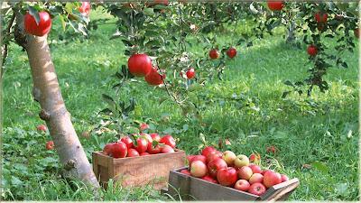 gambar wallpaper kebun buah apel