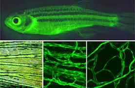 Diskripsi Ikan Bawal Bintang Rekayasa Genetika Dalam Bidang Perikanan