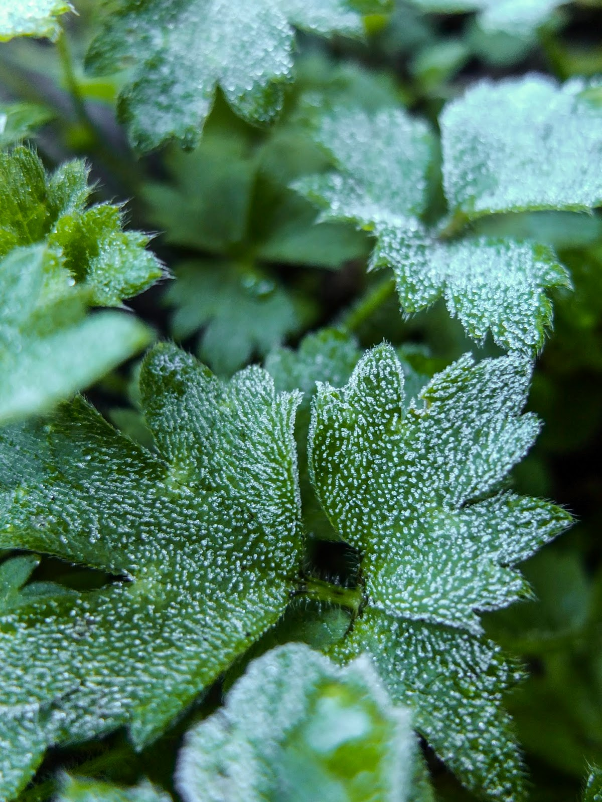A macro of frost on green leaves.