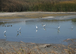 Seven Snowy Egrets, two American Avocets, and five unidentified birds, at the edge of San Francisco Bay, Sunnyvale, California