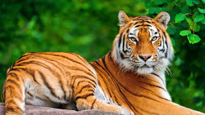 HD wallpapers desktop tigers