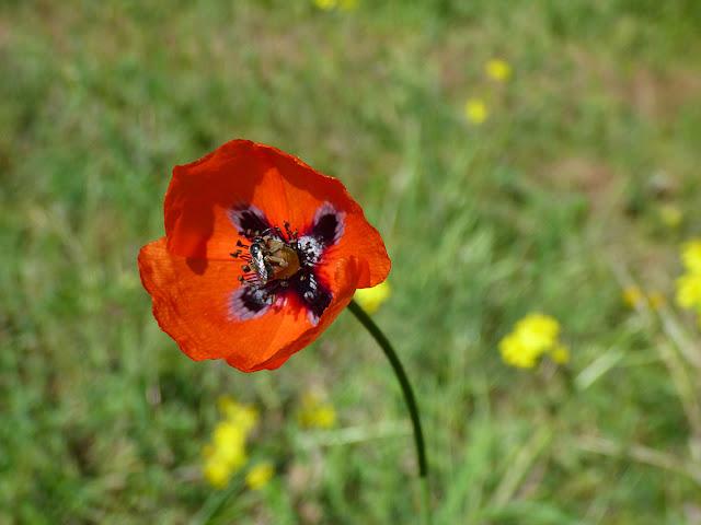 Flori din Muntii Macinului -  cred ca este Mac de gradina (Papaver somniferum)