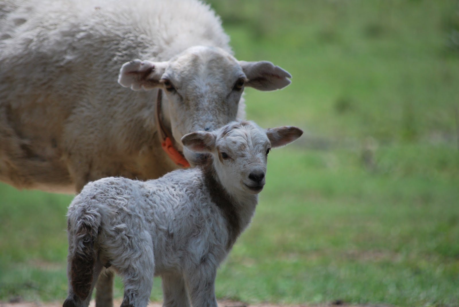 Hightail Farms Lousy With Lambs