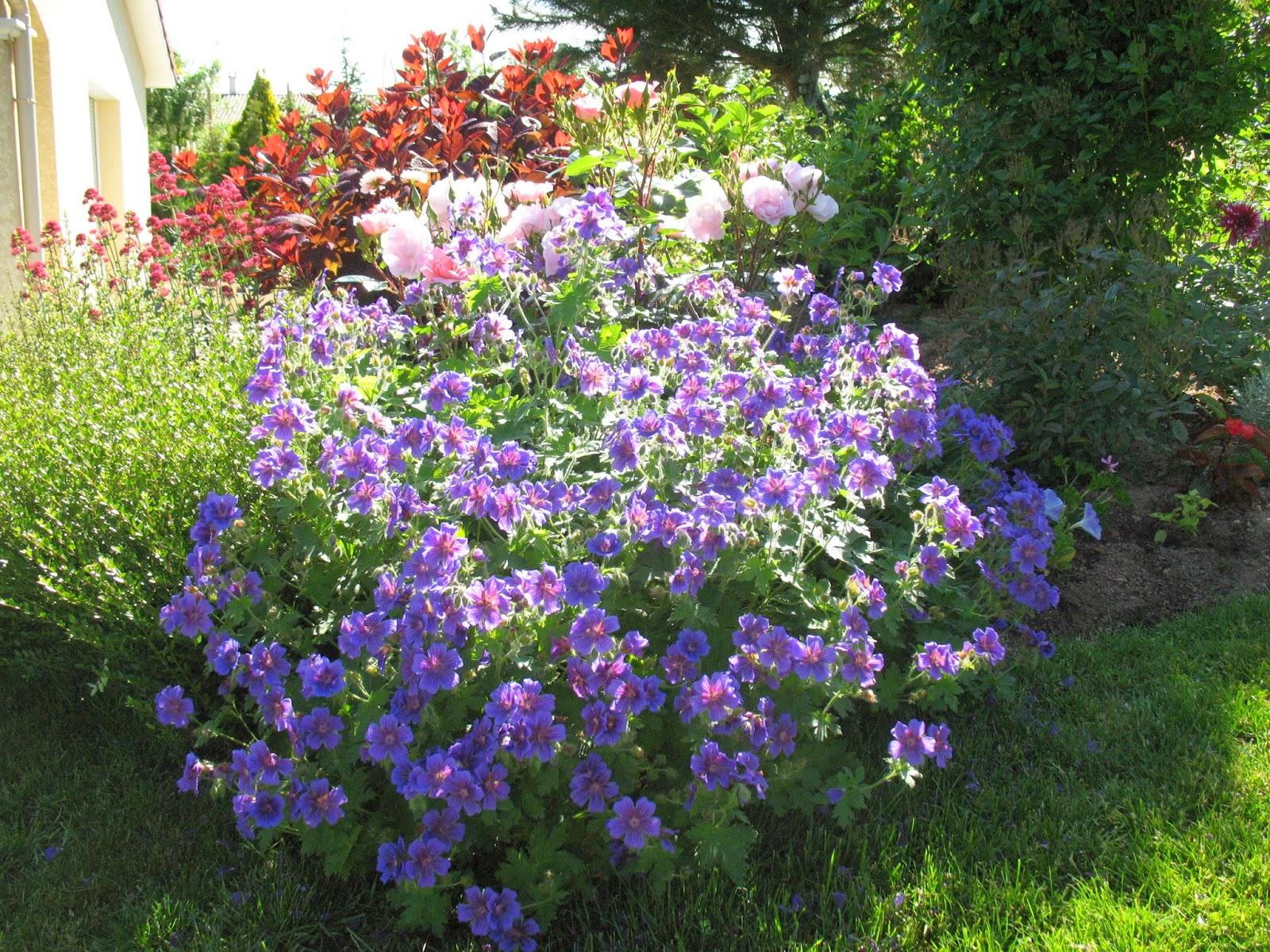 roses du jardin ch neland division des g raniums vivaces. Black Bedroom Furniture Sets. Home Design Ideas