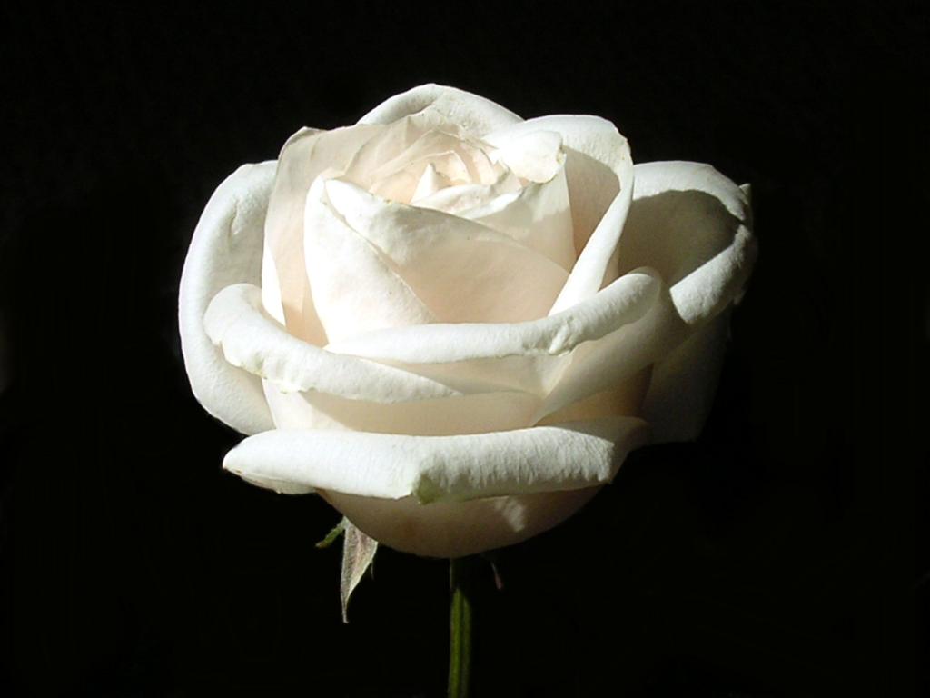 bloomed white roses wallpaper-#3