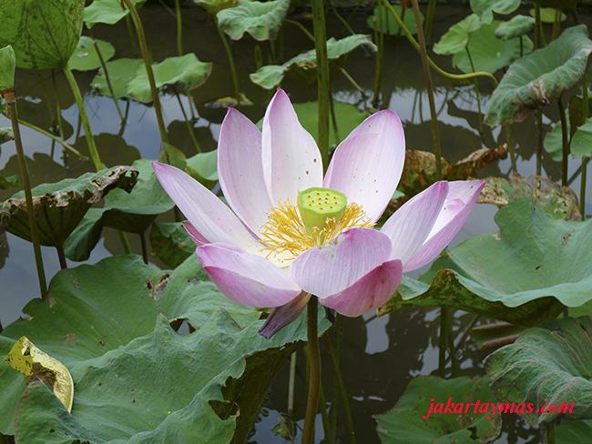 Un lotus en Bali