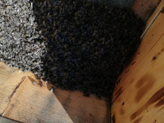 Νέος δολοφόνος μελισσιών στην Αρκαδία: Σκοτώνει μελίσσια ψεκάζοντας τα με δηλητήριο