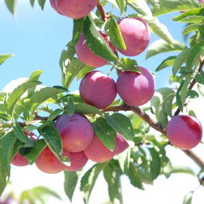 cold tolerant toka plum