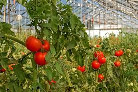Tuyển 35 nữ trồng cà chua tại Kunmamoto lương cao, phí thấp