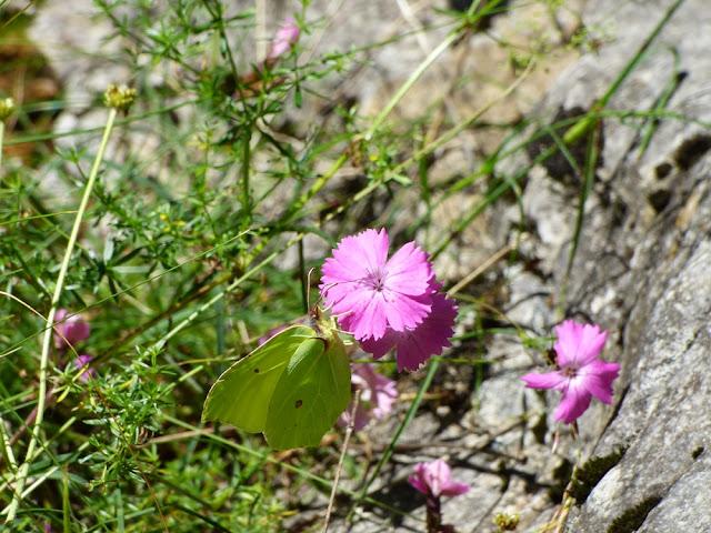 Flori Roz - Album Foto - Despre Flori si Plante