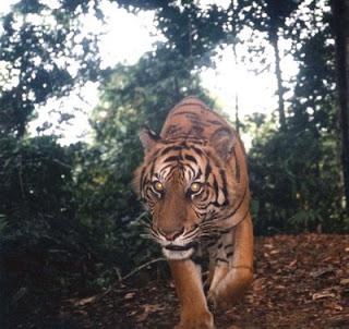 gambar harimau macan sumatera  berkutikblogspotcom