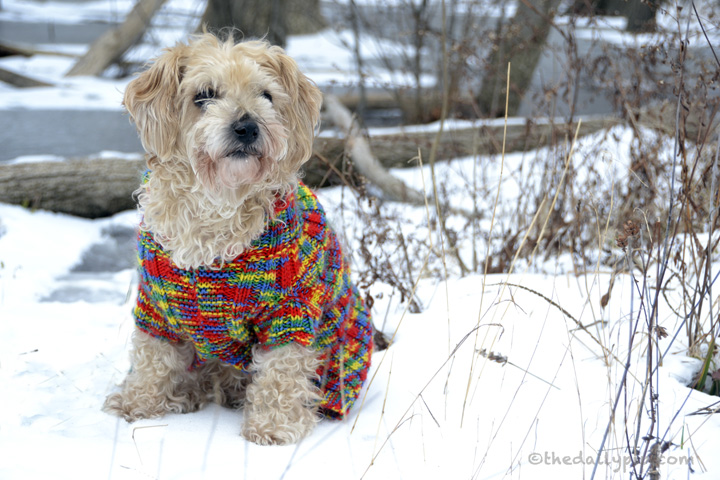 Ruby, the rescued Yorkie-Poo goes for a walk in the snowy woods on wordless wednesday