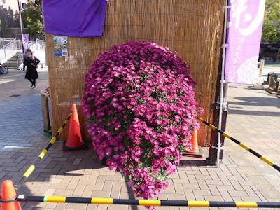 ひらかた菊花展 (岡東中央公園・枚方市役所周辺) 懸崖作り