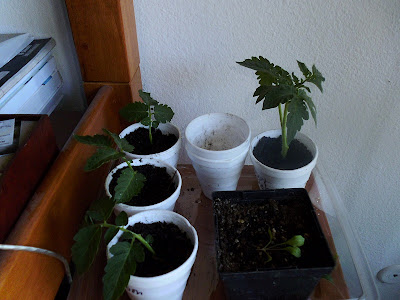 Tomato cuttings for cloning