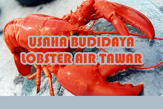 Lobster Konsumsi Restoran & Hias