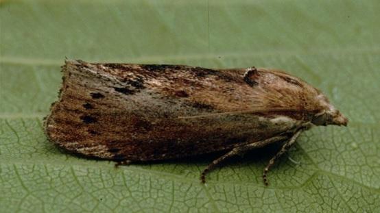 Κηρόσκορος (Galleria mellonella), το έντομο που τρώει πλαστικά