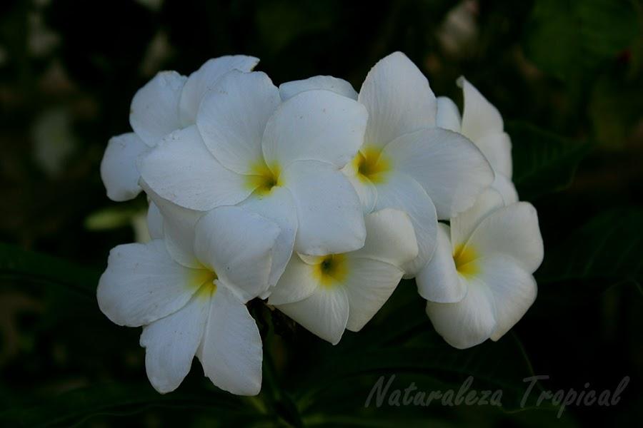 Flores de una planta del género Plumeria