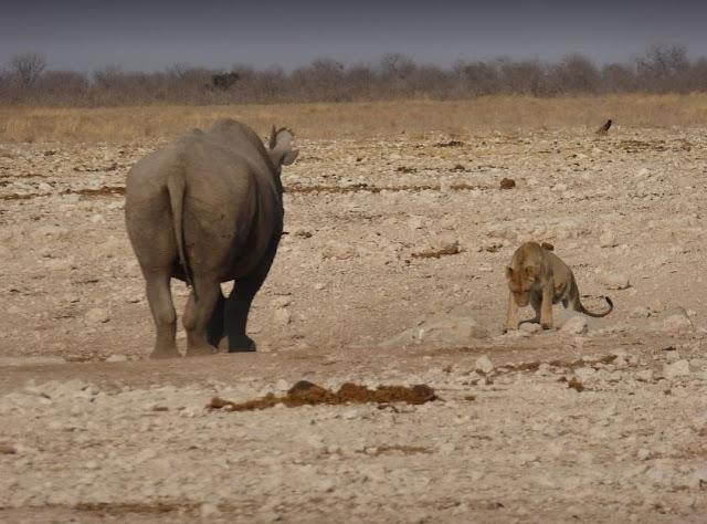 faccia a faccia tra rinoceronte nero e leonessa