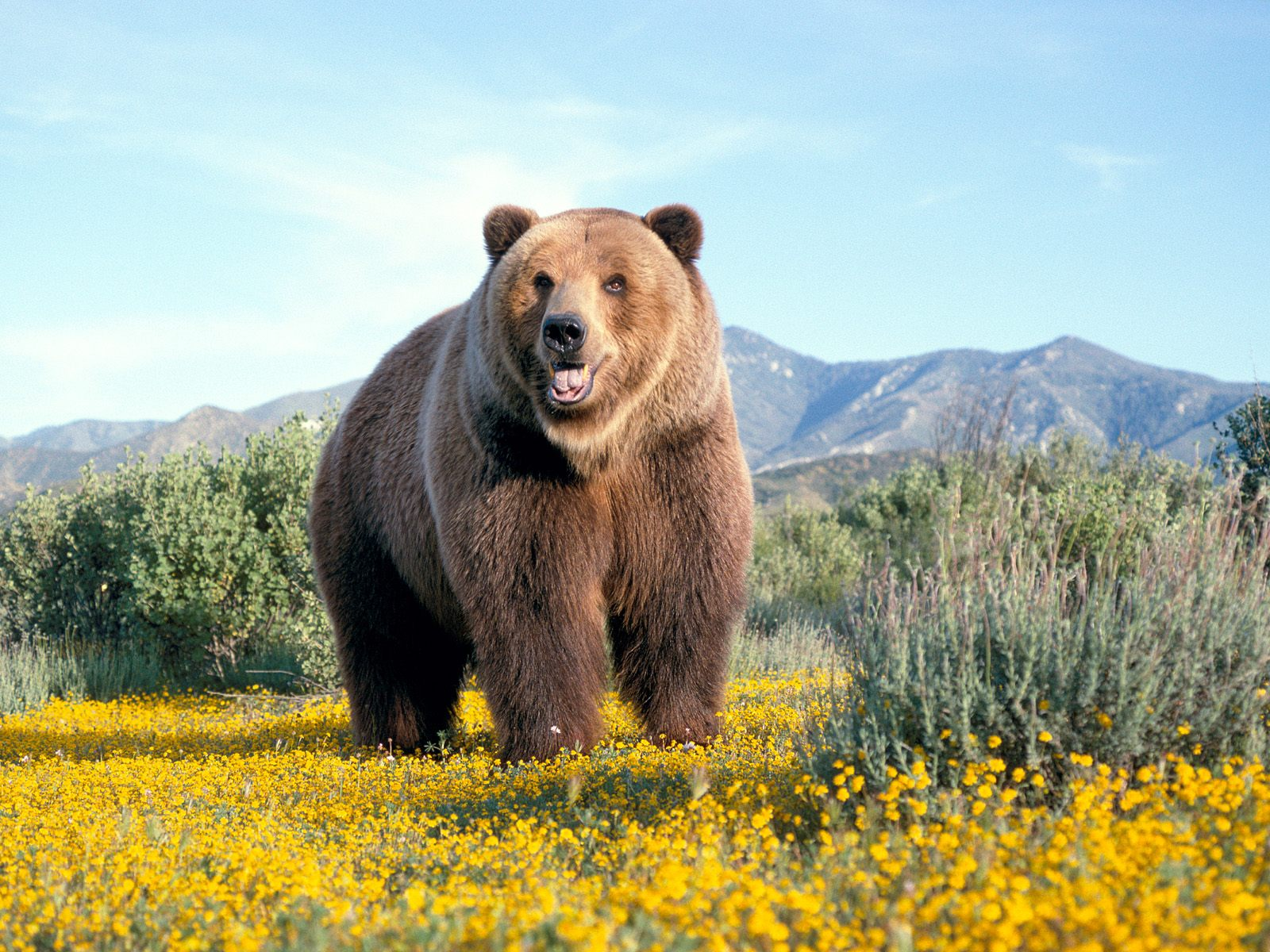 Funny fat bear widescreen wallpaper |Funny Animal