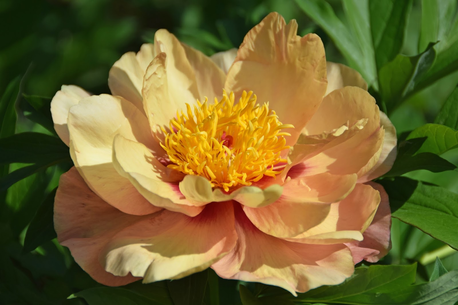 Southern Peony 2017 Intersectional Peony Blooms Week 3 Early Mid