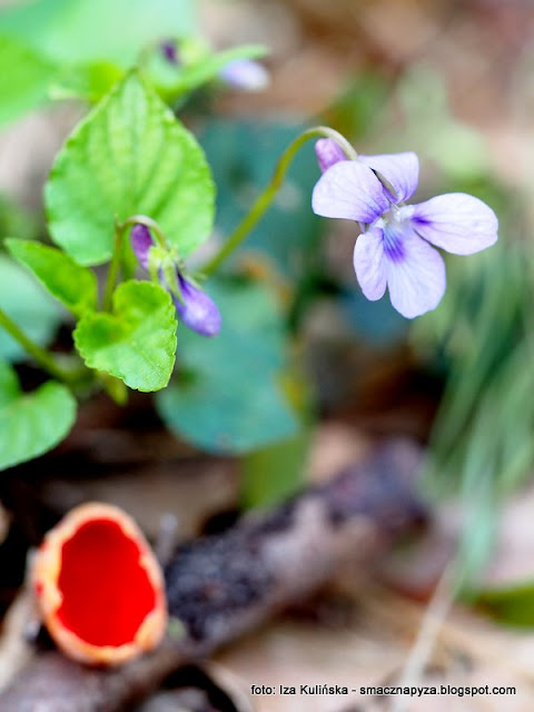 kwiatek i grzybek, czarka austriacka, fiolki, grzyb wiosenne, grzyby wiosenne, wiosna w lesie
