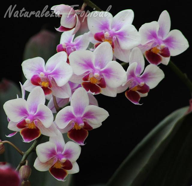 Bello cultivar de una orquídea Mariposa (género Phalaenopsis) con pétalos y sépalos blancos con tonos púrpuras centrales y labelo rojo vino con centro amarillo
