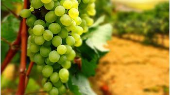 صور فاكهة العنب