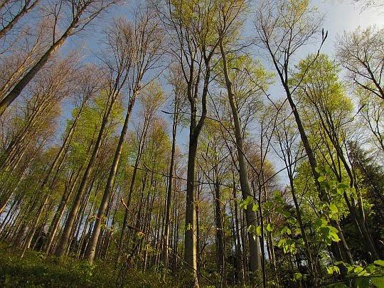 Las zieleni się.