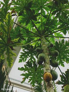 papaja w łódzkiej palmiarni