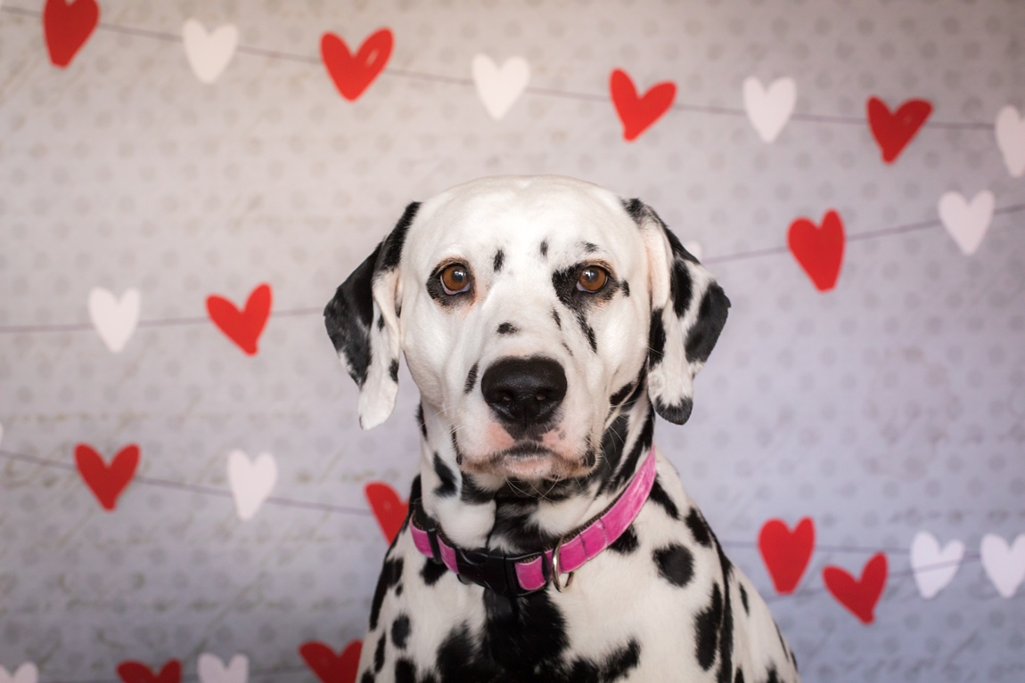 Dalmation posing for valentines day