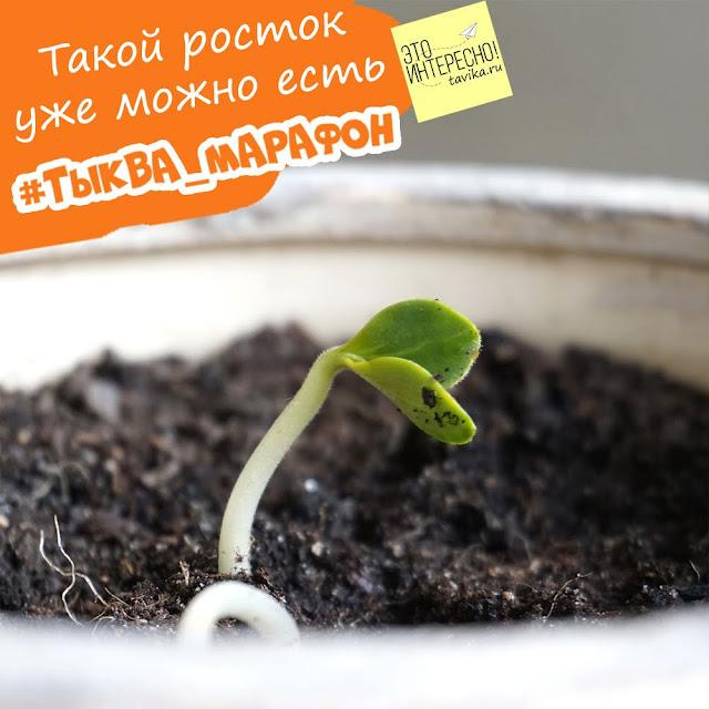 выращиваем тыкву из семечка