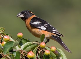 lake arrowhead, birdwatching, grosbeak