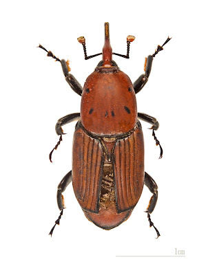 The beetle behind the palm deaths:Rhynchophorus ferrugineus.