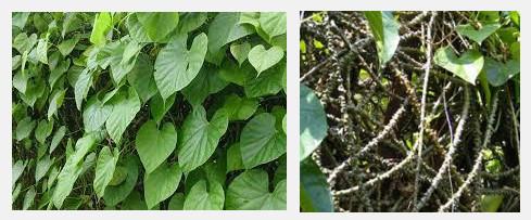 Obat herbal menggunakan brotowali