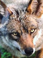Photo du visage d'un loup