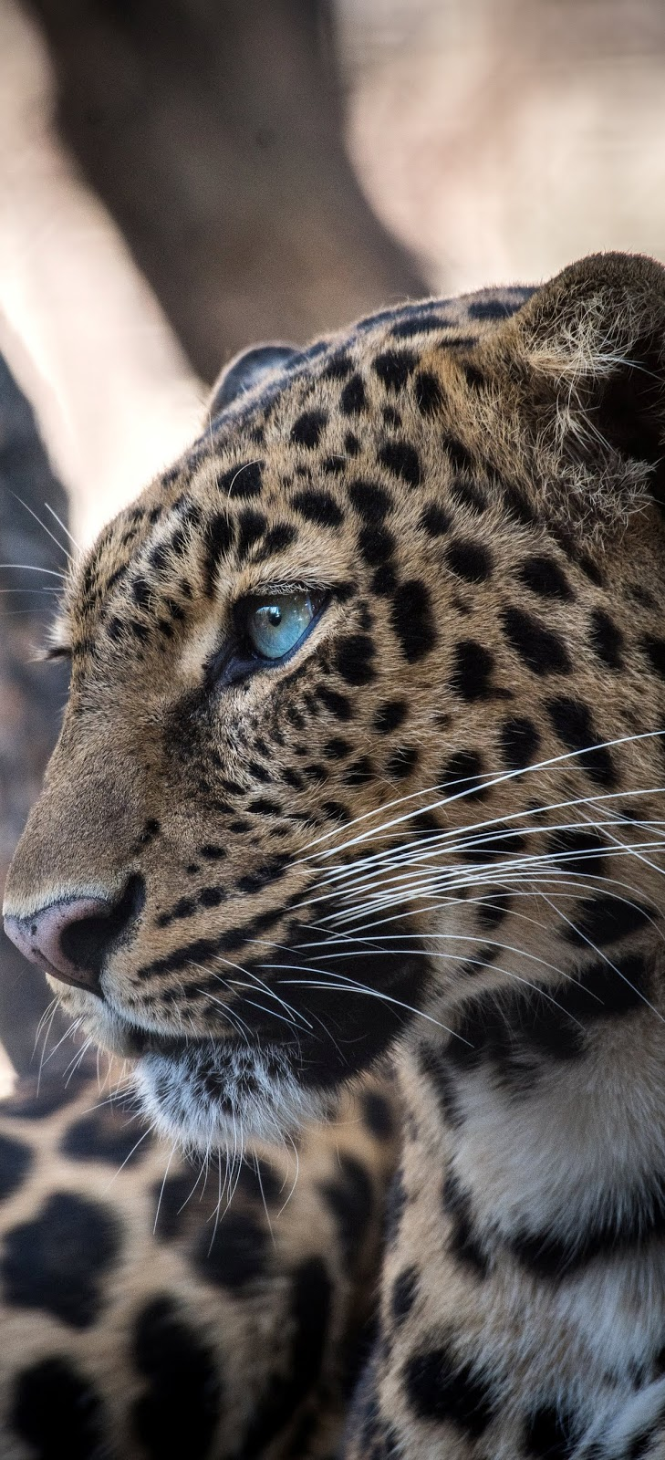 A jaguar face portrait.