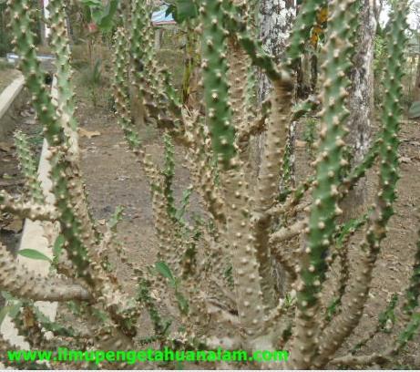Ciri Khusus Tumbuhan yang Hidup di Lingkungan  Xerofit
