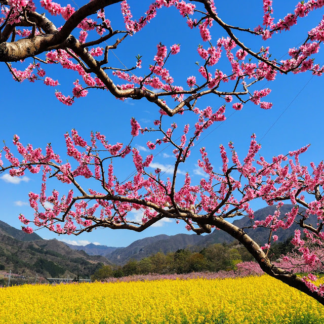 桃の花祭り黒駒会場 菜の花